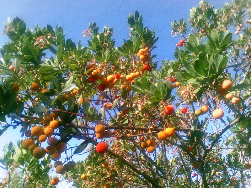 Madroño-Erdbeerbaum